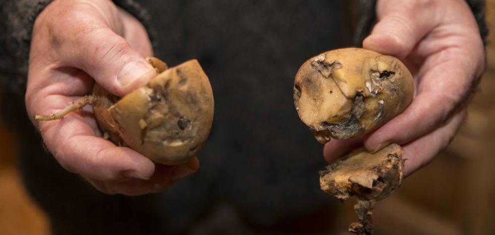 El Principado toma medidas para evitar que los turistas trasladen patatas en verano