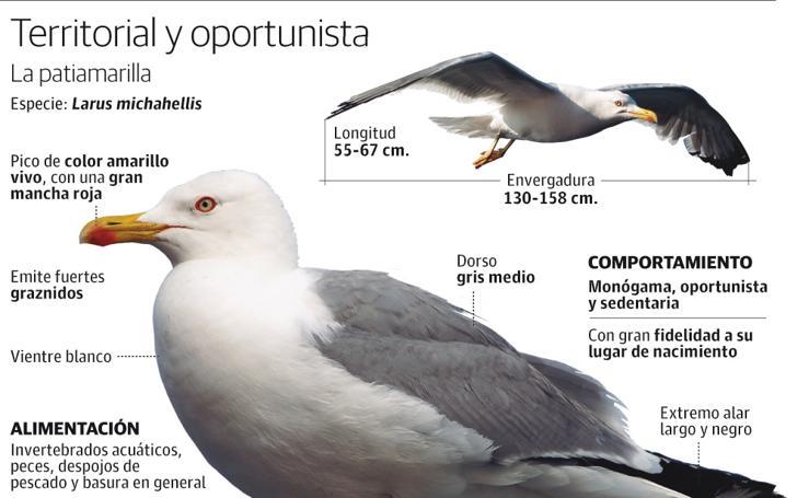 Gaviotas, un ave territorial y oportunista