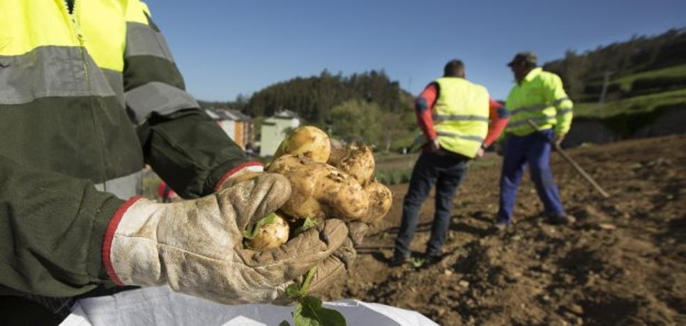 El Principado de Asturias prohíbe a los turistas llevar patatas de los concejos con polilla