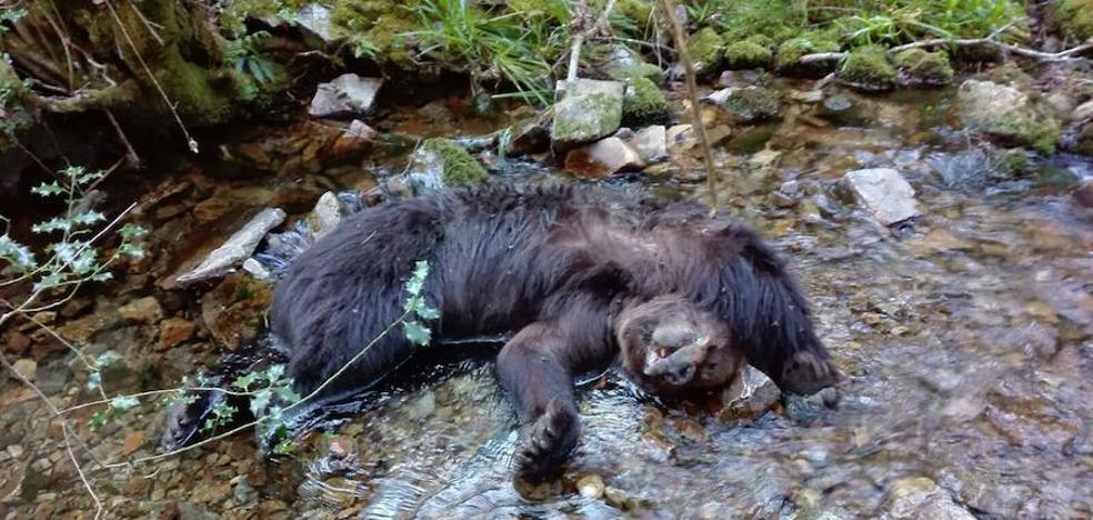La necropsia revela que los osos de Combo murieron al despeñarse tras una pelea