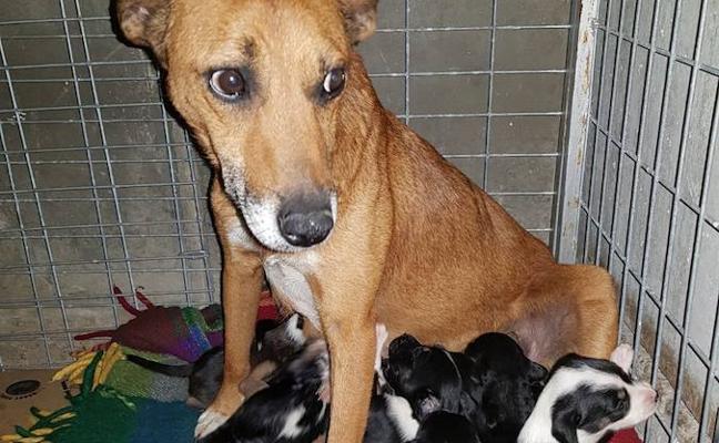 Aparece otra perra abandonada con sus doce crías en Oviedo