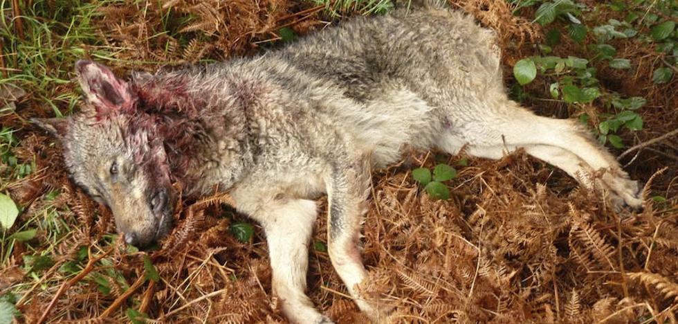 Denuncian a un agente medioambiental por acusar a cazadores y ganaderos de matar lobos de manera ilegal