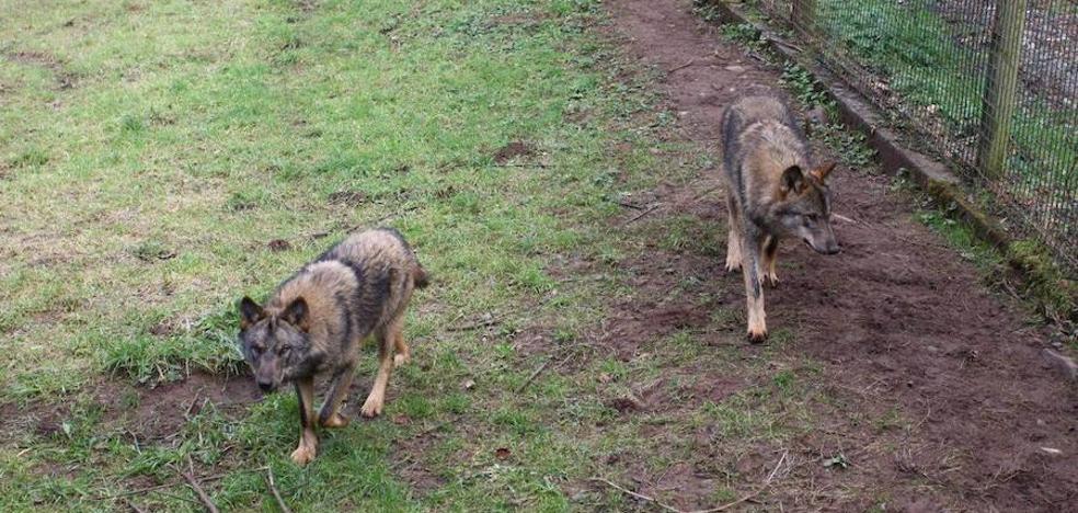 El lobo mata a más de medio centenar de reses en Onís y Cangas
