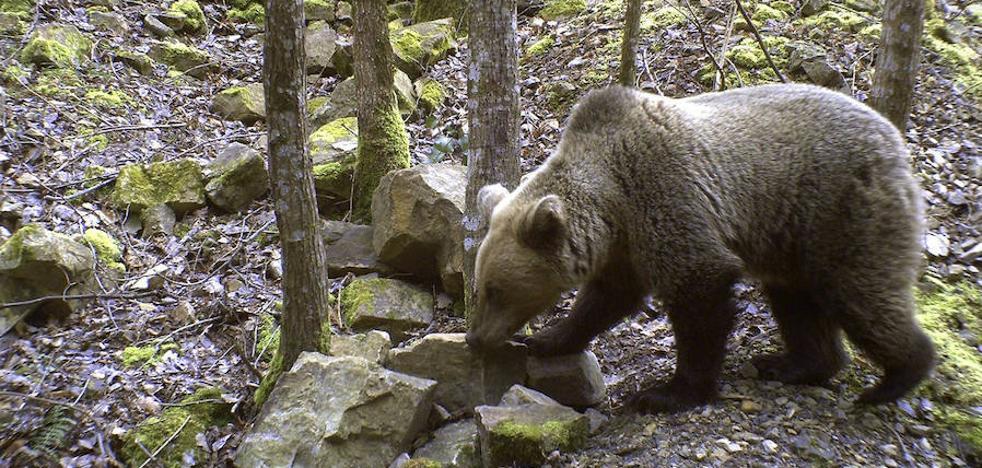 Los osos consolidan su presencia en la Cordillera Cantábrica