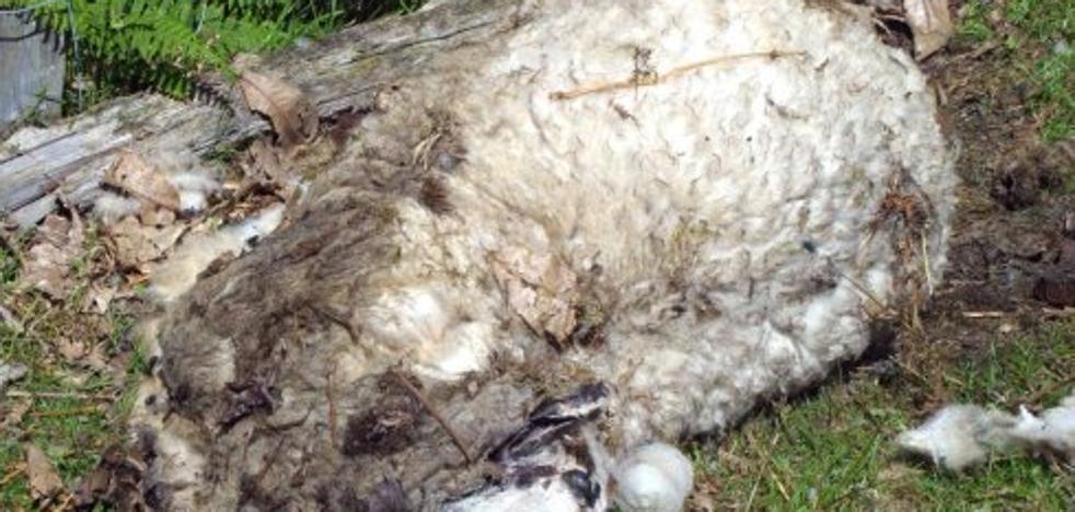 Illas reclama medidas para paliar la muertes de 21 animales por ataques de lobo