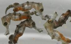 20 crías de caballito de mar se exhiben por primera vez en el Acuario de Gijón