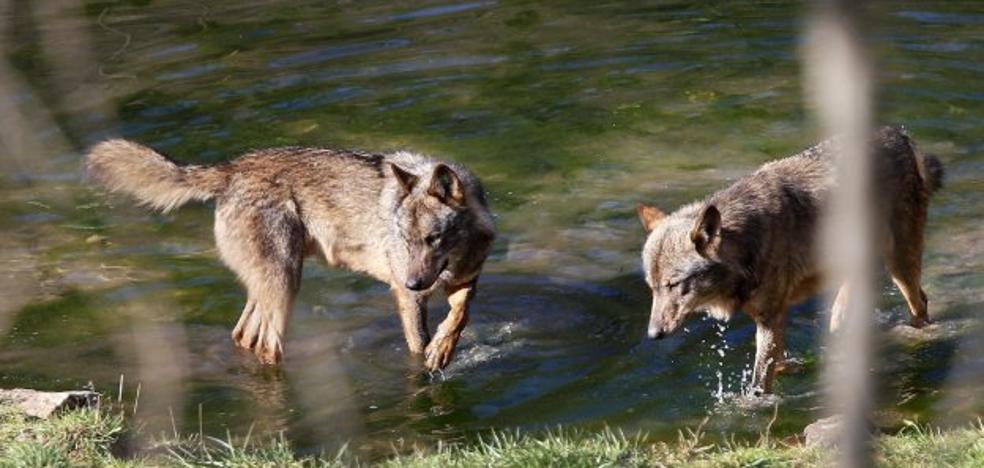 Los ecologistas denuncian en la Fiscalía las batidas indiscriminadas de lobos