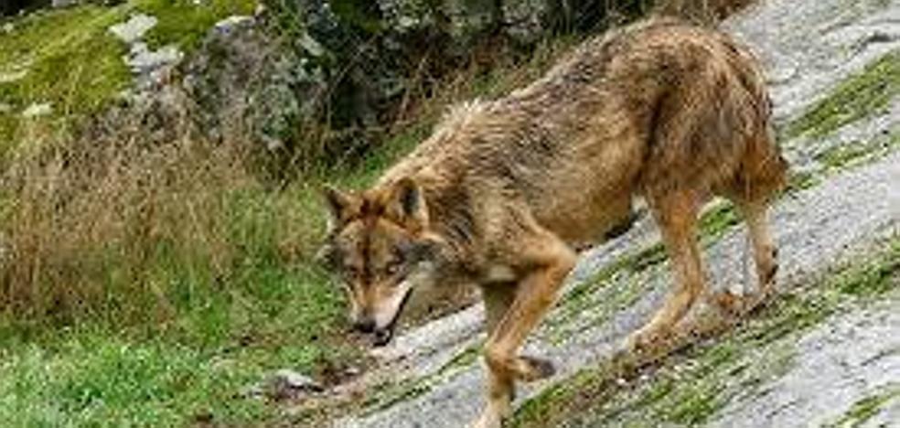 La saliva delata al depredador