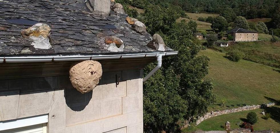 Un nido de avispa asiática lleva más de dos semanas en el alero de una casa en Doiras