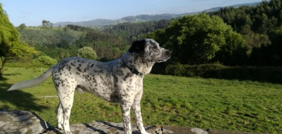 Jabalíes matan a un perro en una finca en Gijón