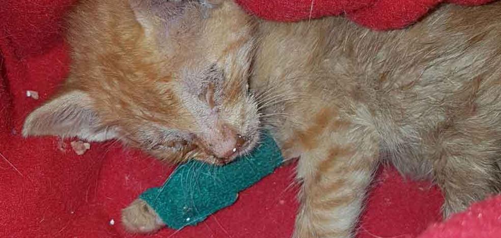 Tiran un gato de apenas tres semanas a un contenedor en Arriondas