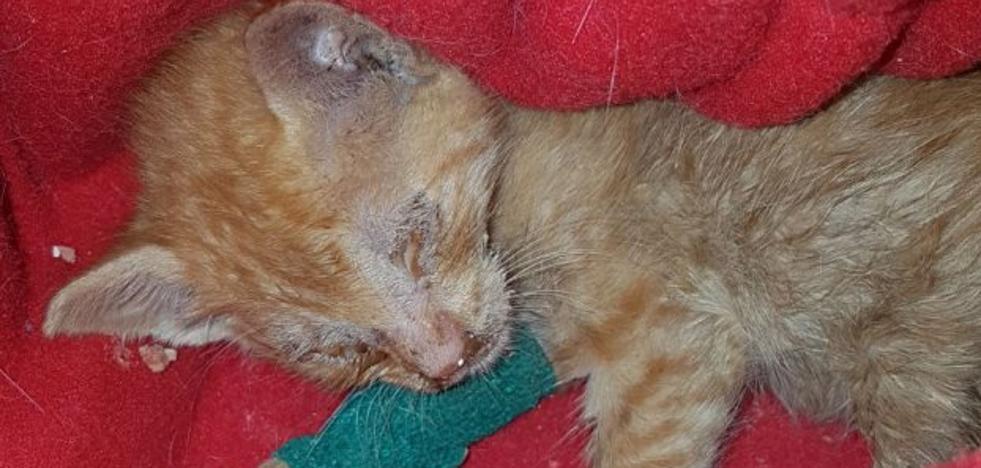 Arrojan a un gato de apenas tres semanas a un contenedor en Arriondas