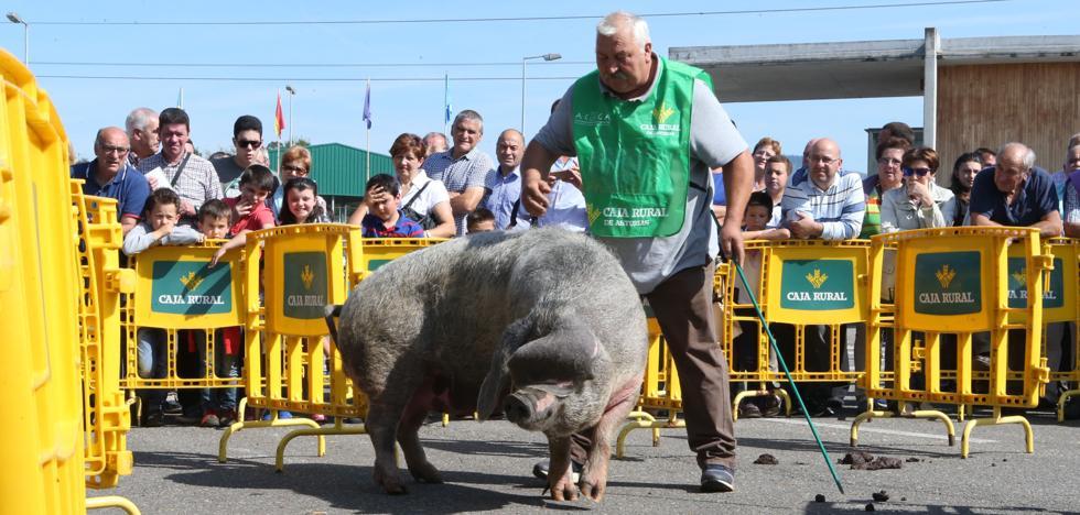 'Katy', una hembra de 230 kilos, campeona del concurso de Gochu Asturcelta de Agrosiero