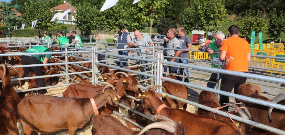Un semental de cabra bermeya por 900 euros