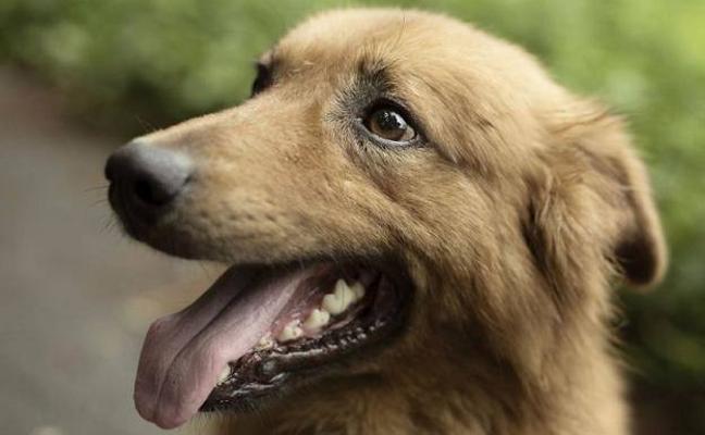 Kit, el perro ciego que cuida un rebaño de ovejas a diario