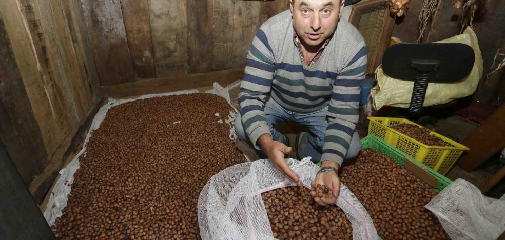 Piloña pondrá a la venta más de 6.000 kilos de avellanas en su festival
