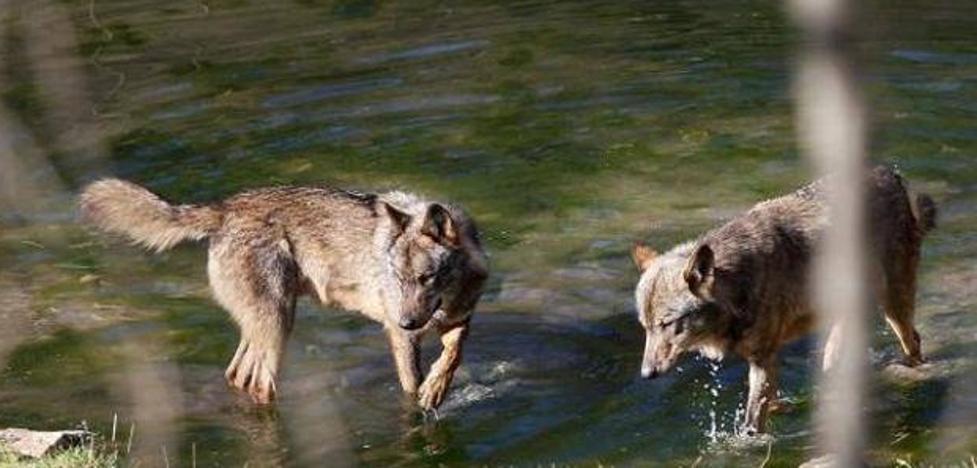 Los ecologistas denuncian ante la Fiscalía las batidas de lobos