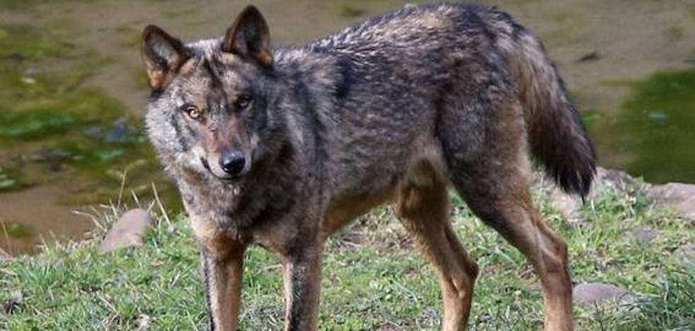 Los ecologistas denuncian ante la Fiscalía una cacería contra el lobo en Cangas del Narcea