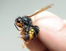 El Congreso reclama un protocolo de actuación integral contra la avispa asiática