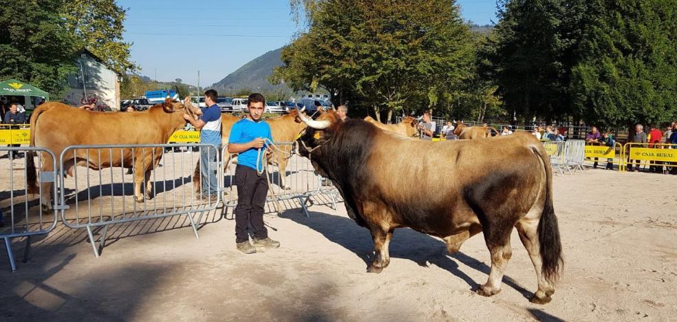 'Trasgu', el mejor macho de Asturiana de la Montaña en Infiesto