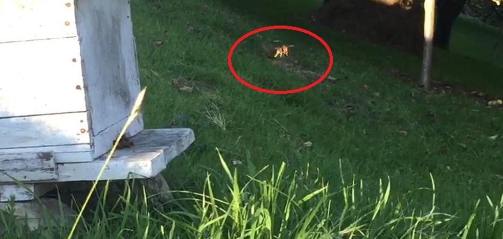 Una avispa asiática merodea un panal en Sariego