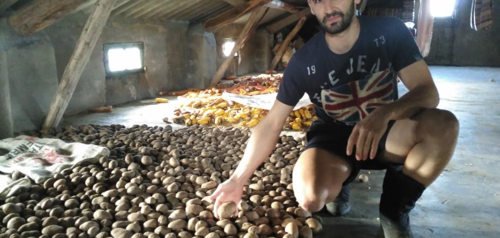 El Principado estudia prohibir la siembra de patata en cinco concejos