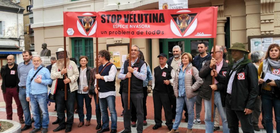 La plataforma Stop Velutina pide un plan preventivo porque la avispa «llegó para quedarse»