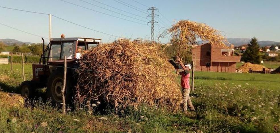 El orbayu de agosto mejora la cosecha de fabes