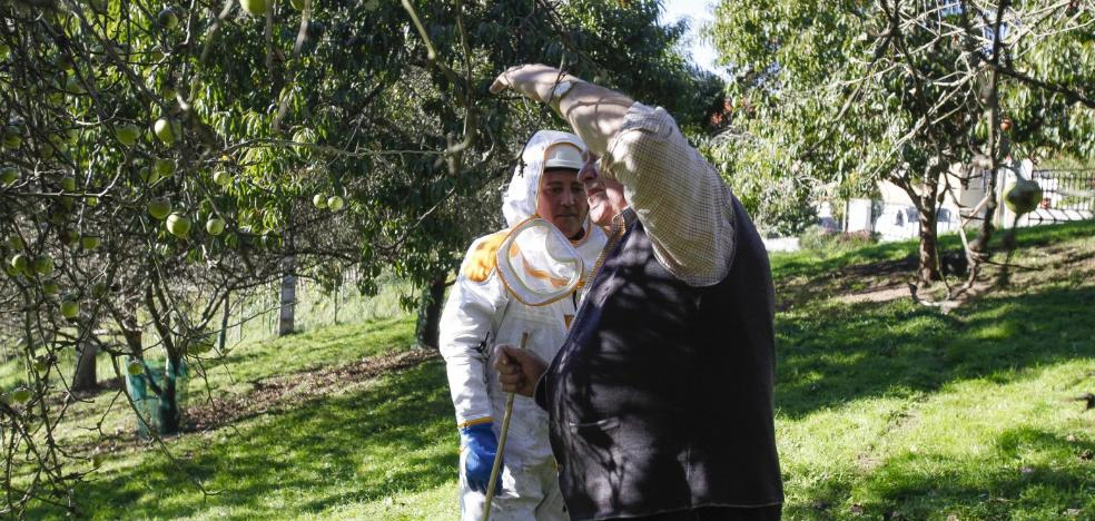 El Principado elimina el primer nido de avispa asiática en Villaviciosa