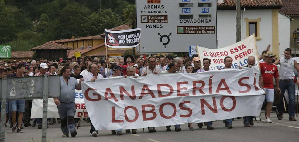 Los ataques del lobo generan pérdidas de 1,5 millones al año a la ganadería asturiana