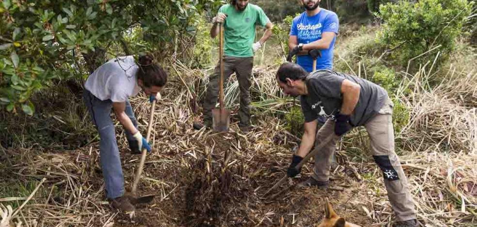 El concejo de Ribadesella se suma a la lucha contra el plumero de la Pampa