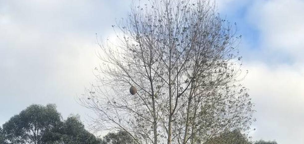 Retiran el nido de avispa asiática localizado en Otur