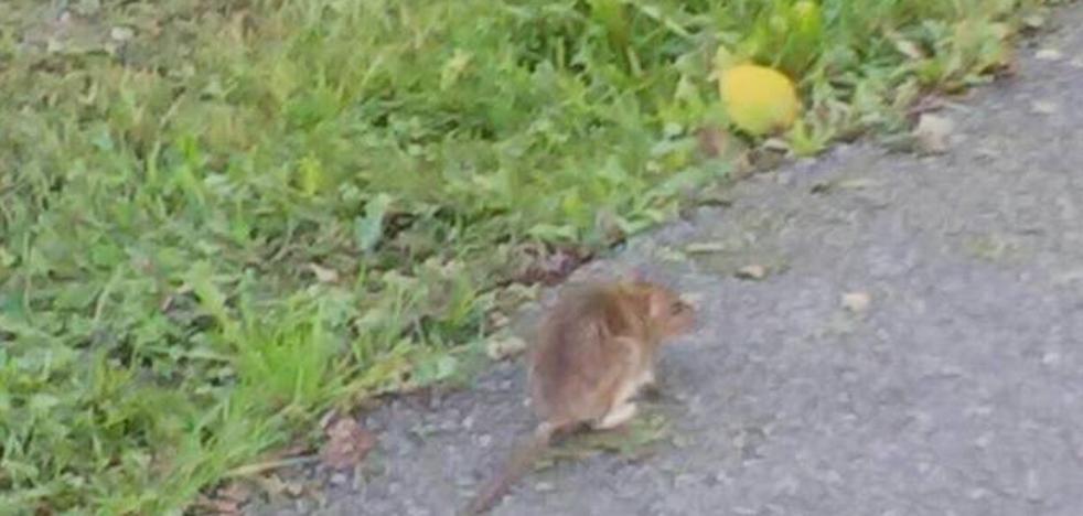 Una rata en el colegio de Cancienes