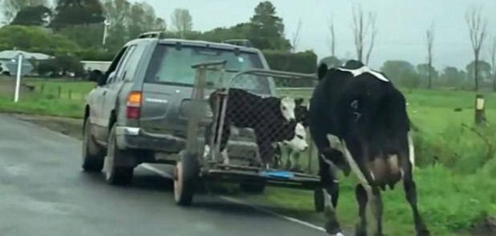 La desesperada persecución de una vaca al coche en el que se llevaban a sus terneros