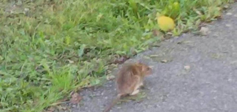 La presencia de una rata en el colegio de Cancienes causa alarma a las familias