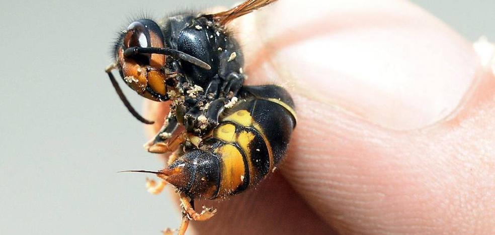 La avispa asiática ataca en grupo y puede ser muy agresiva si percibe peligro, advierten los expertos