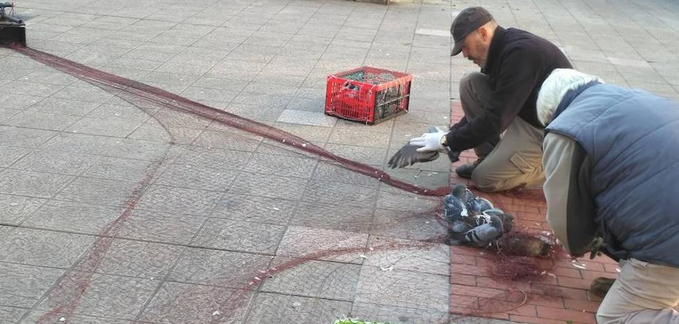 Denuncian los métodos para capturar palomas en la campaña de control de población del Ayuntamiento de Gijón