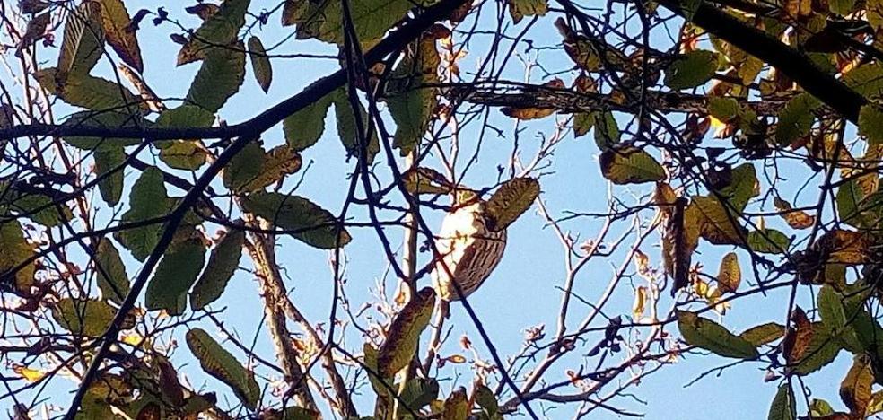 Localizados tres nidos de avispa asiática en Salas