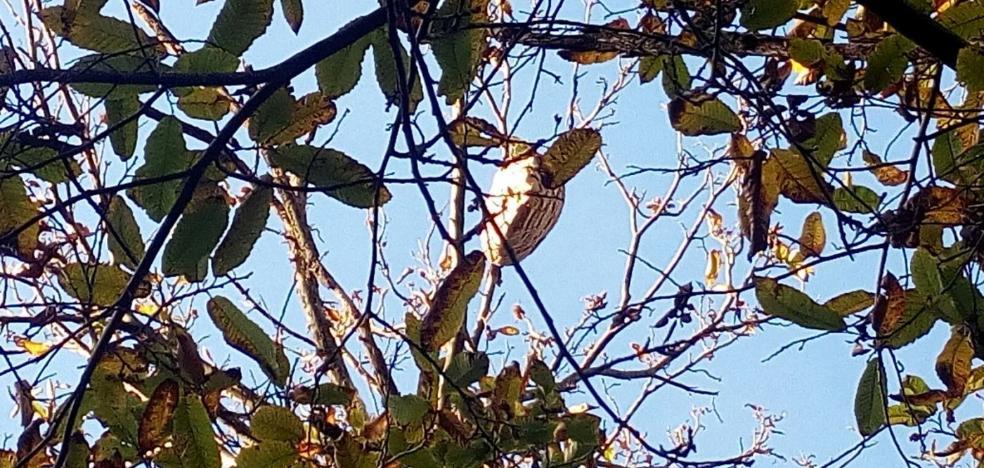 Tres nidos de avispa asiática próximos a las viviendas desatan la alarma en Salas