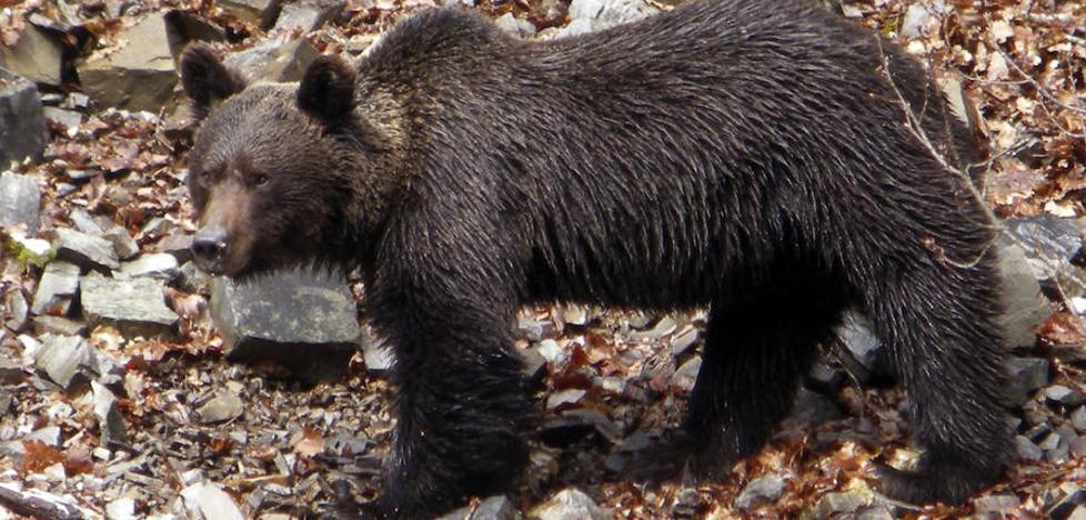 Castilla y León busca a un oso pardo que recibió un disparo durante una cacería en Palencia