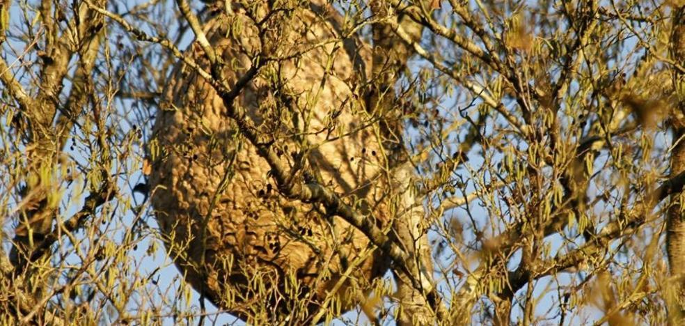 Villaviciosa insta al Principado a retirar tres nidos de avispón