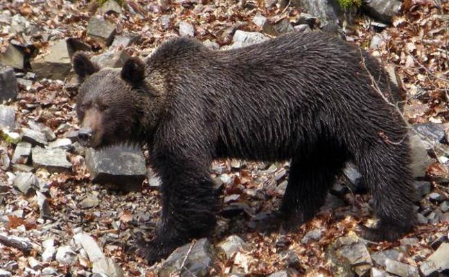 Buscan a un oso herido en una cacería en Palencia