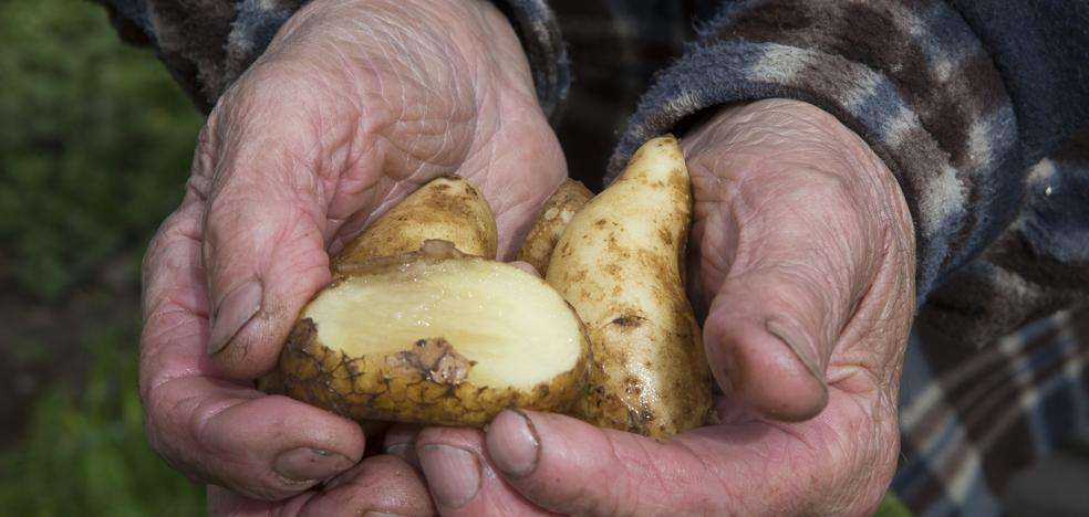 La polilla guatemalteca restringe el cultivo de patata en 13 concejos asturianos