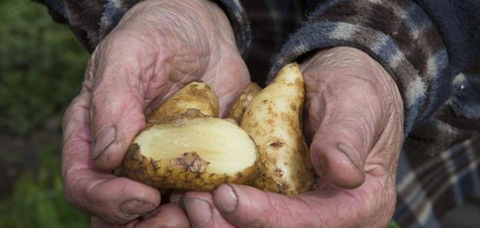 La polilla de la patata obliga a prohibir el cultivo en trece concejos