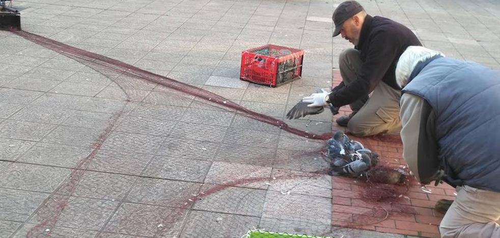 Xixón Sí Puede solicita que el control de palomas en la ciudad apueste por métodos sin sacrificio