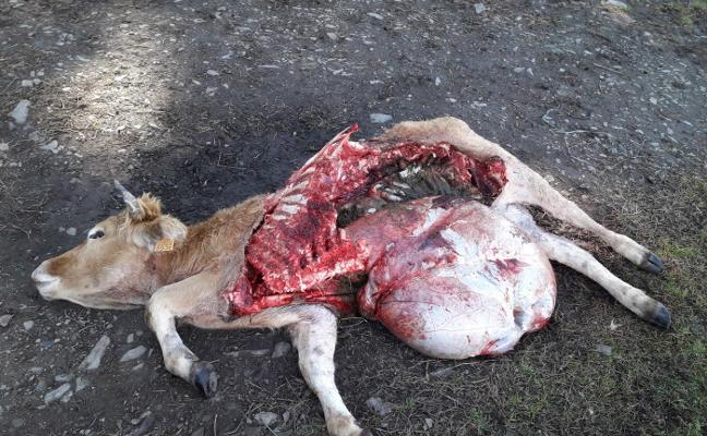 Los ganaderos de los Oscos, indignados por los continuos ataques de los lobos