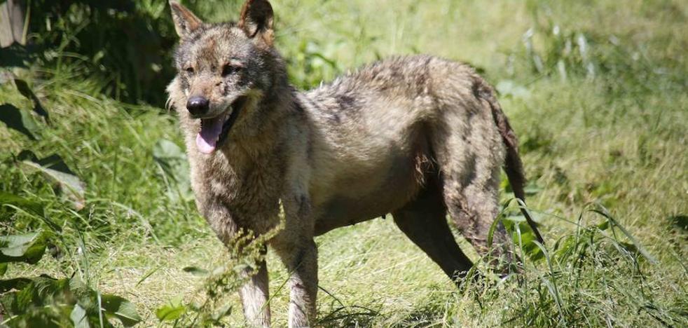 El TSJA ratifica su rechazo a suspender el control de lobos