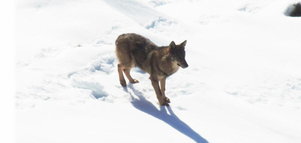 Avistan un lobo a las afueras de la localidad de Amieva