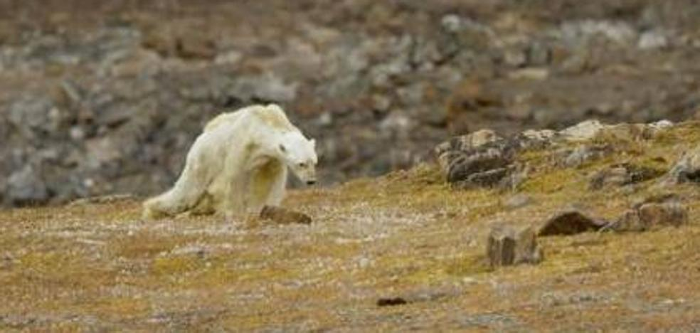 La sobrecogedora imagen de un oso polar agonizando a causa del cambio climático