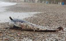 Las olas arrastran una ballena calderón muerta en una playa de Murcia